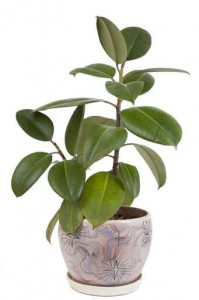 ficus in the pot