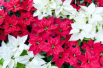 Red and white poinsettias, Christmas flowers